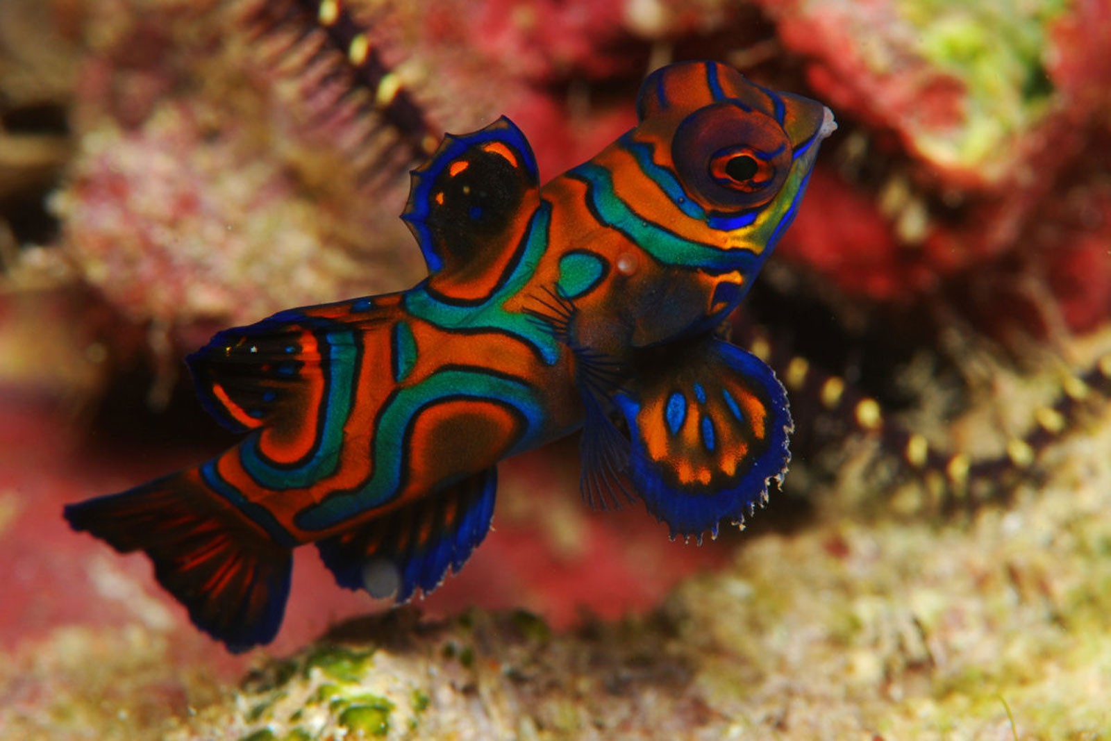 Mandarin Fish, photo: Andreas Pluetzer (November 2009)