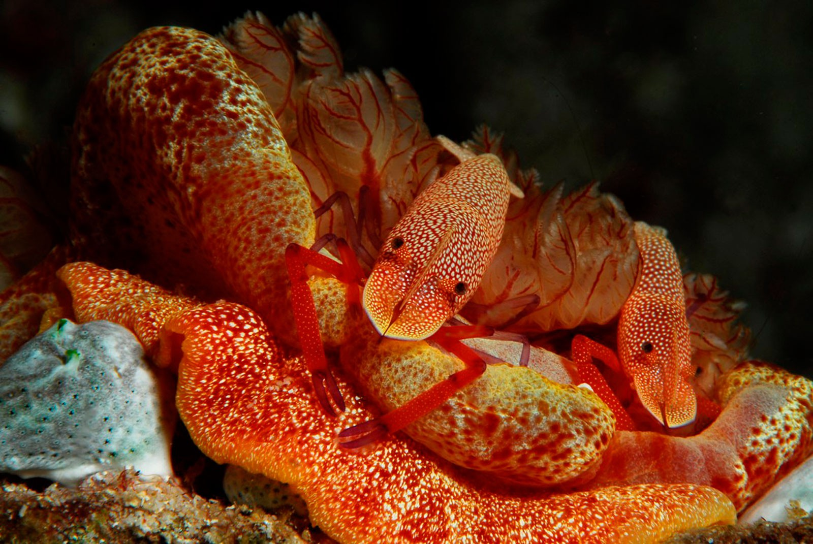 Imperator Shrimps riding Spanish Dancer, photo: Mario Pauk (October 2010)