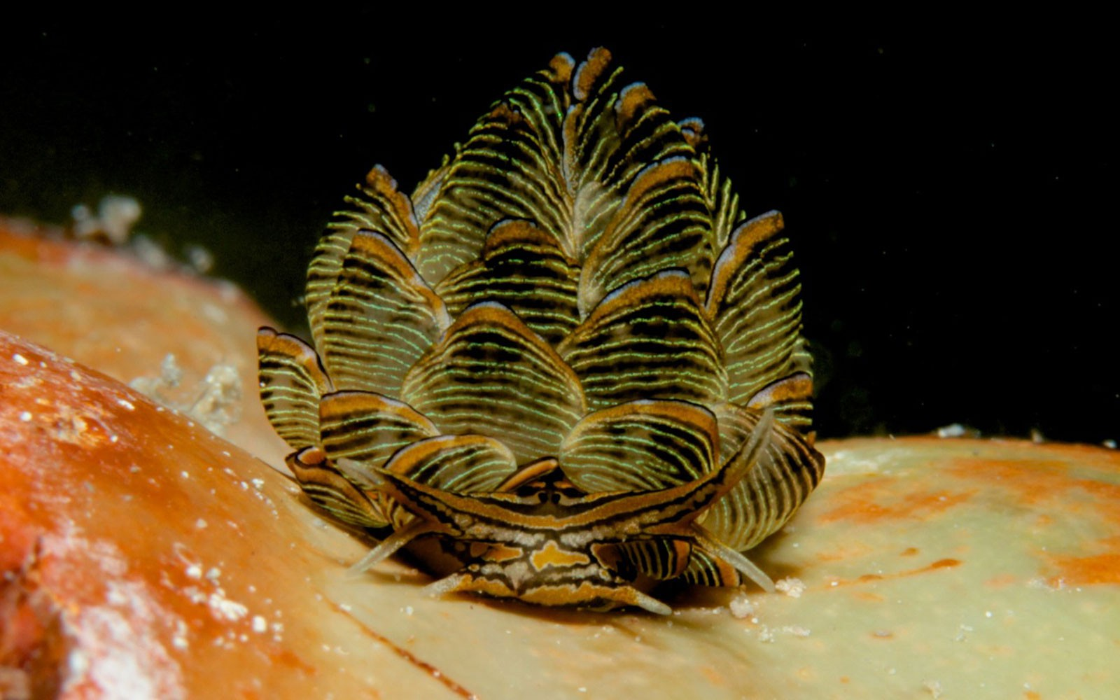 Nudibranch: Cyerce nigra, photo: Kirsten Goerner (May 2013)