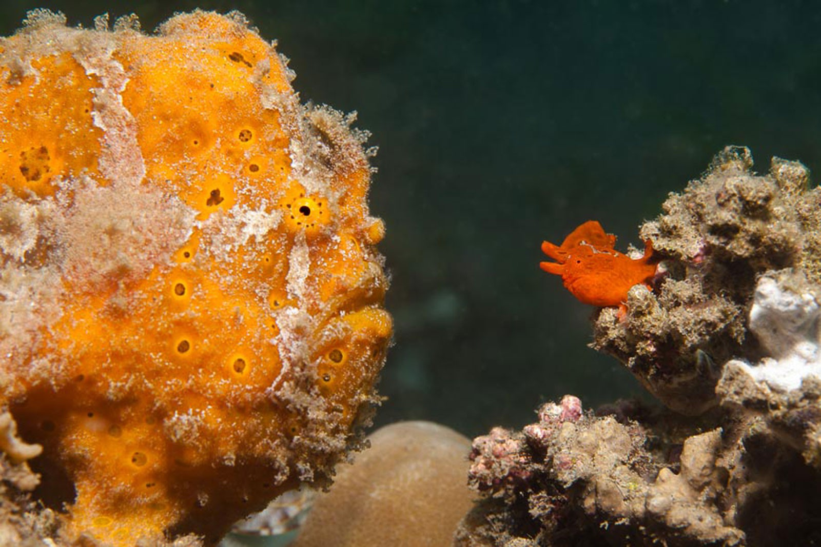 Frogfish – teaching swimming or catching, photo: Juergen Steffen (April 2014)