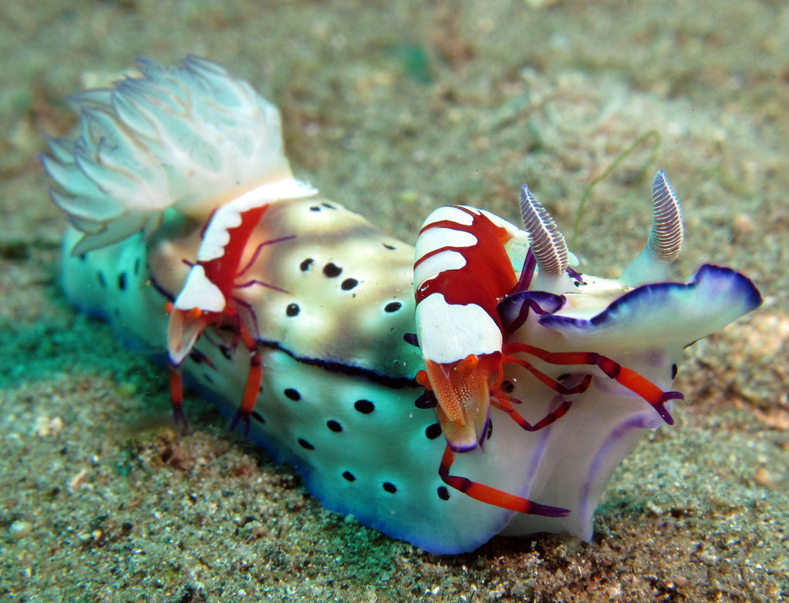 Risbecia tryoni with Emperor shrimp (Periclimenes imperator), photo: Alexandra horvarth (November 2014)