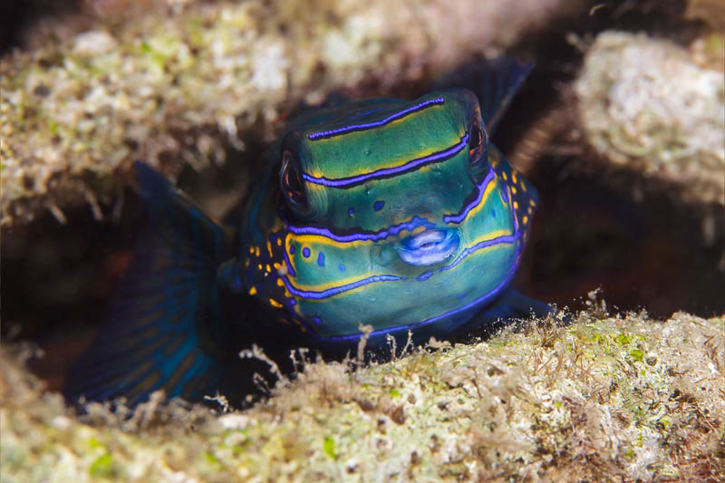 Mandarin Fish, photo: Jürgen Steffen (February 2016)