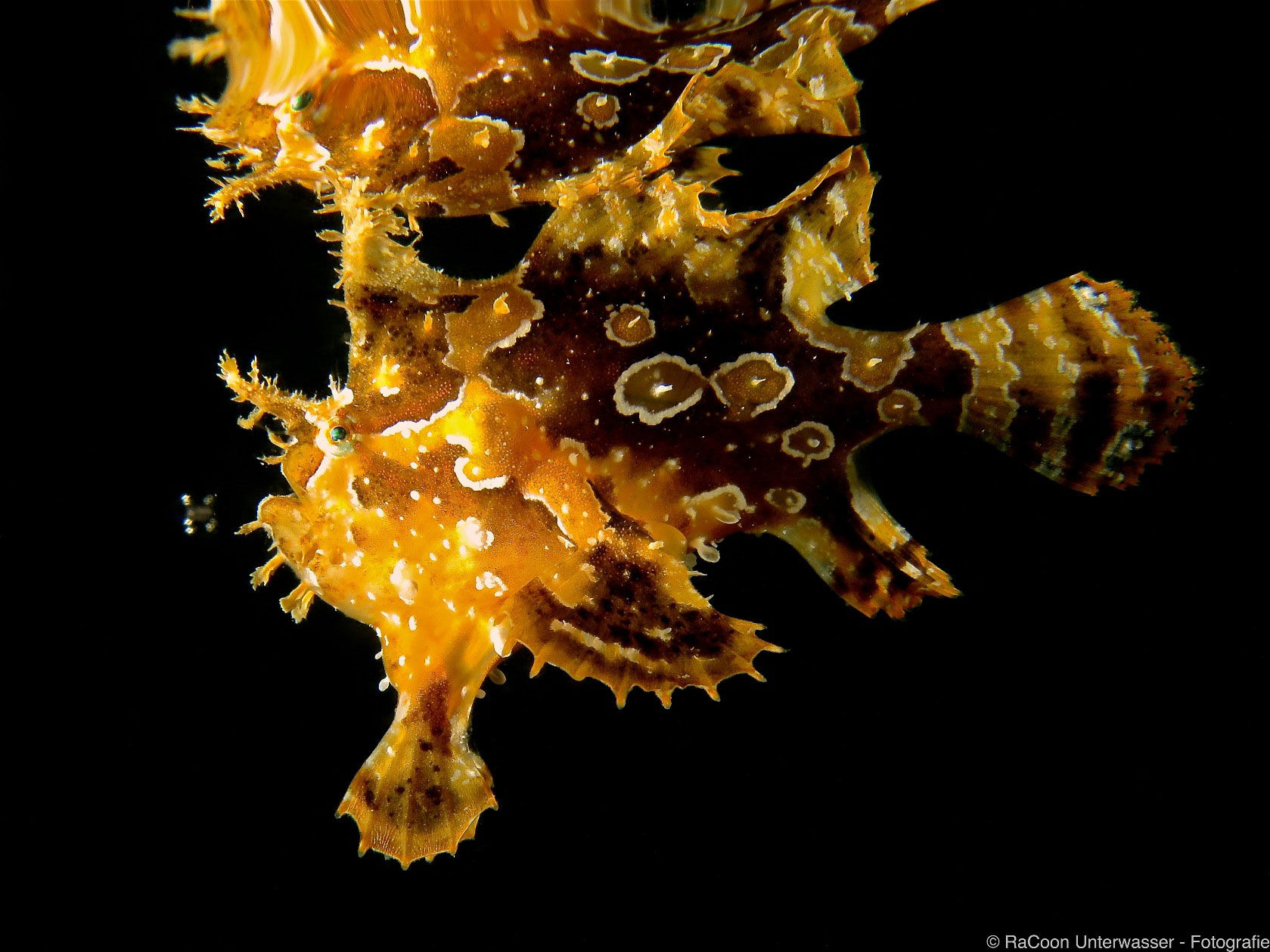 Sargassum Frogfish, photo: Marc Matzutt (October 2016)