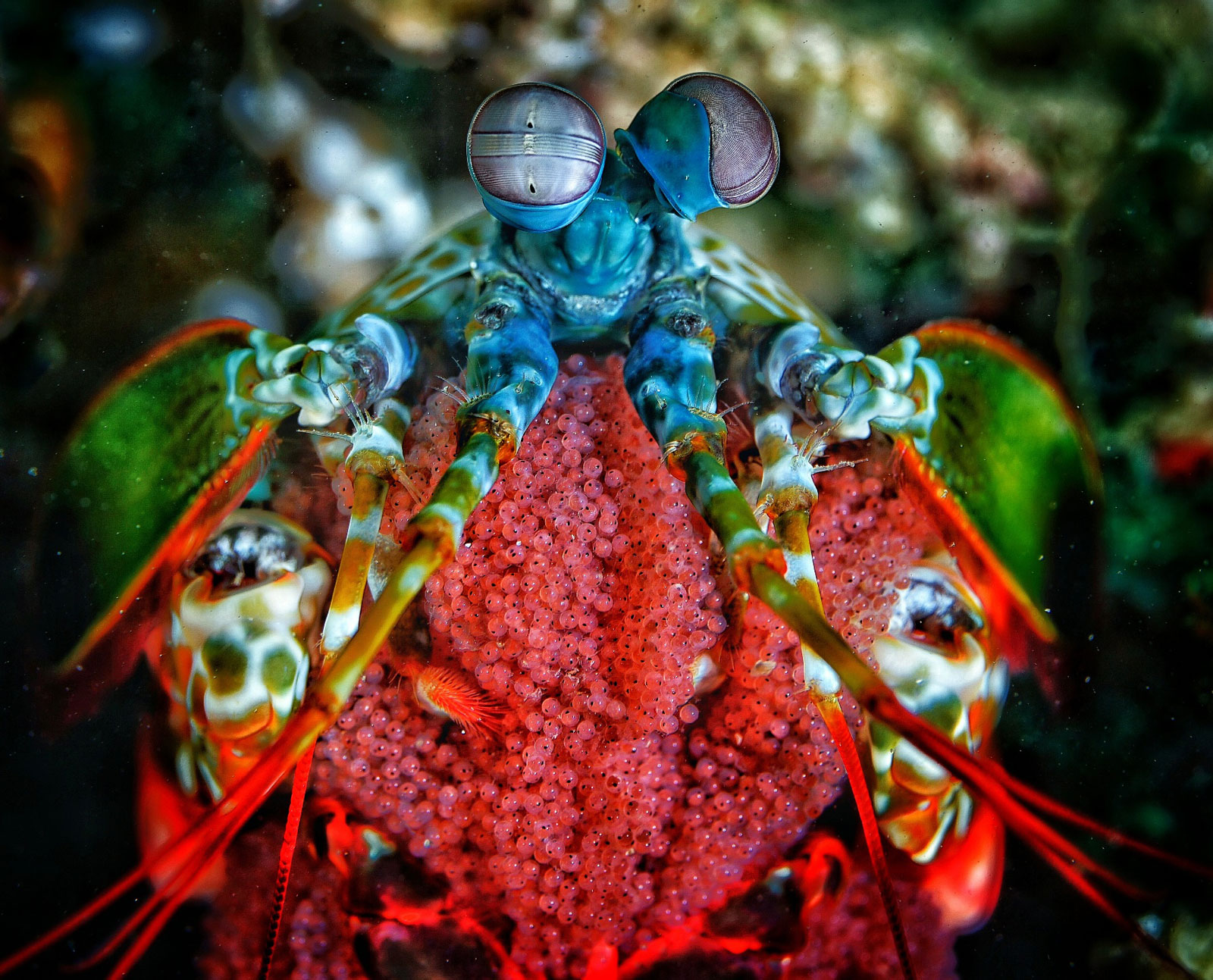 Mantis Shrimp with Eggs and Eyes, photo: Ebehard Saft (April 2017)