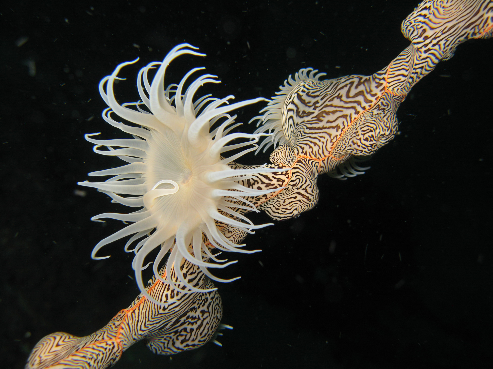 Zebra Anemone, photo: Greg McDonald (August 2018)