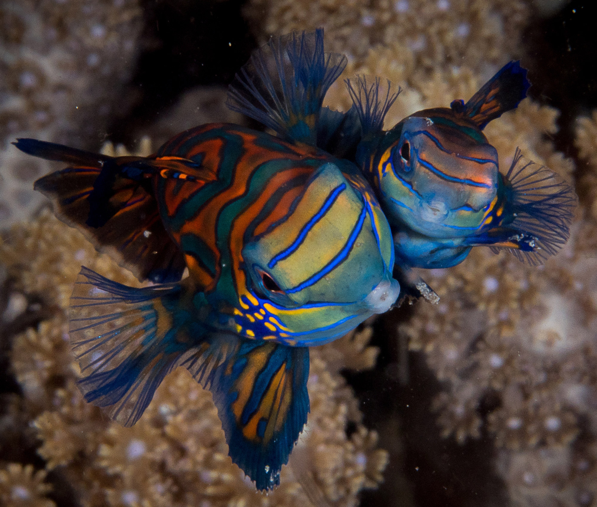 Mandarin Fish, photo: Markus Hahn (November 2018)
