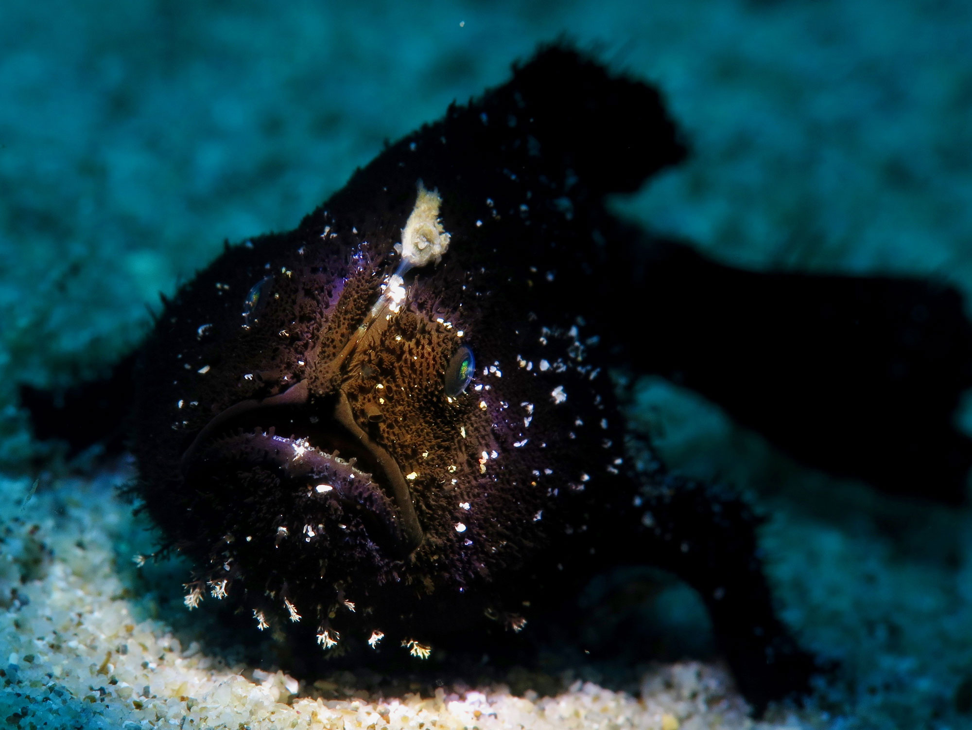 Black Hairy Frogfish, Photo: Klaus Bereuter (June 2019)