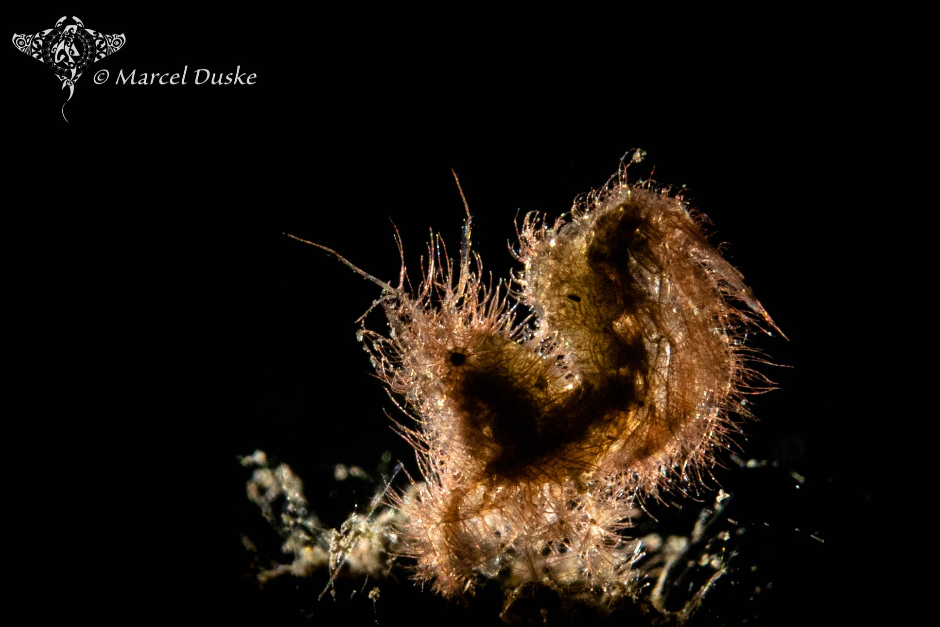 Hairy shrimp or phycocaris simulans is also called Algae Shrimp, Photo: Marcel Duske (July 2019)