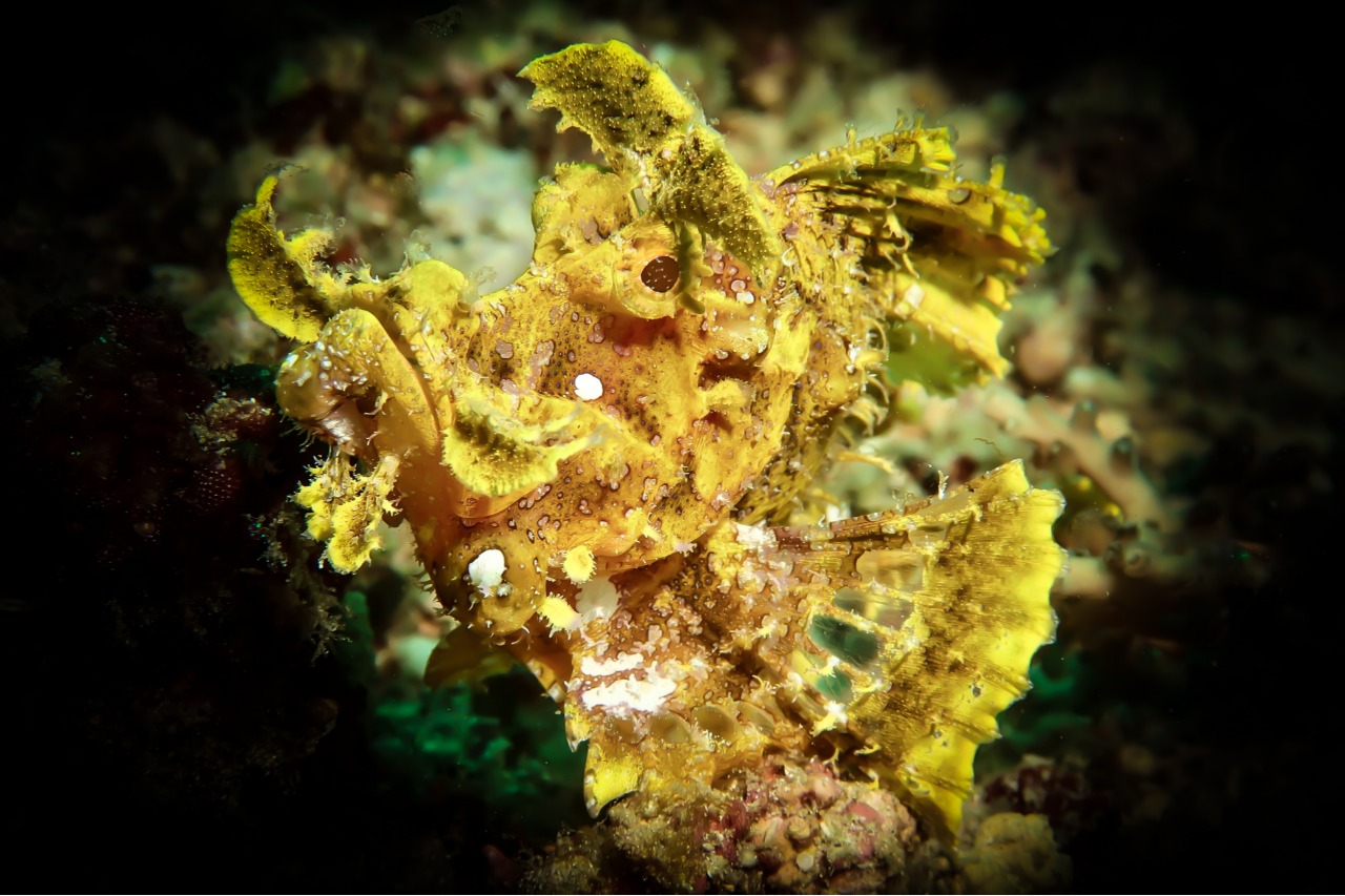 RHINOPIAS FRONDOSA, WEEDY SCORPIONFISH, Photo: BETTINA HANISCH (October 2019)